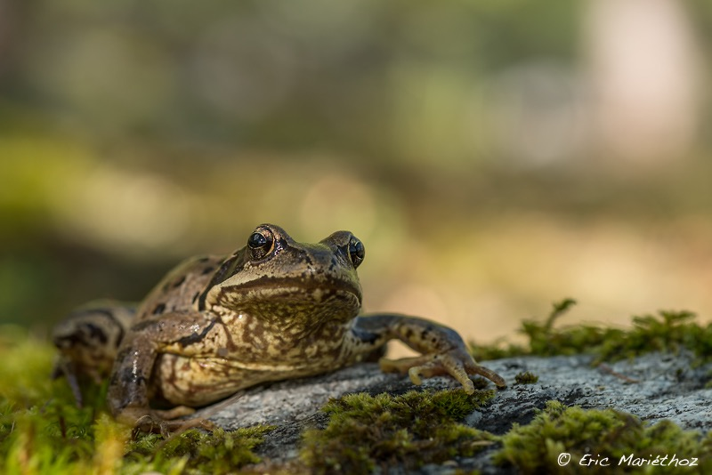 09092013-grenouille_rousse-358