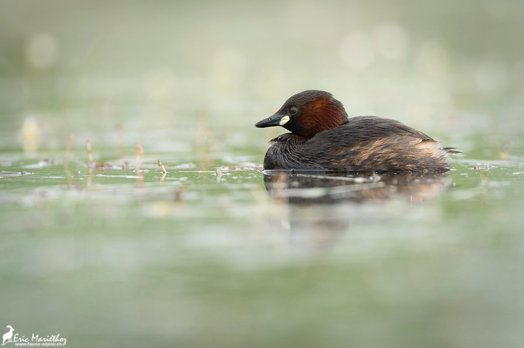 grebe_castagneux-21
