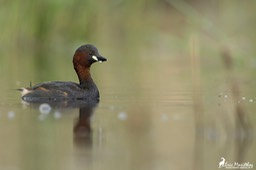 grebe_castagneux-94