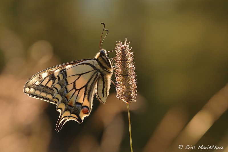 machaon-65