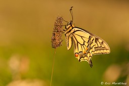 machaon-74